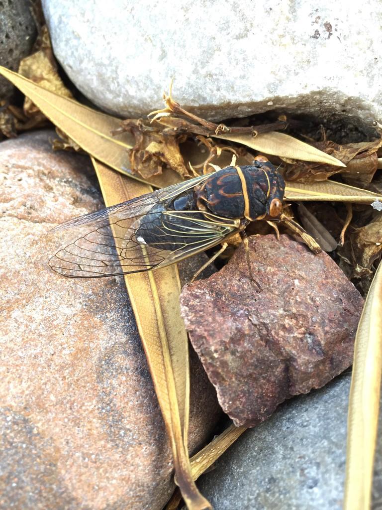 Cicada by kerristephens