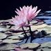 Pink Lillys by joysfocus