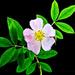 Wild Rose by skipt07