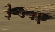17th Jul 2015 - I've got all my Ducks in a Row