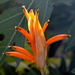 Canna lily beginning to open up. by congaree