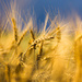 wheat by aecasey