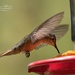 Hummingbird I by lynne5477