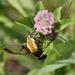 Hummingbird Moth by cjwhite
