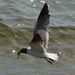 Fishing gull by congaree