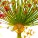 Allium honey by pistache