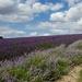 Hitchin Lavender Fields by padlock