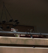 21st Jul 2015 - Sunbathing.... on a neighbor's balcony!
