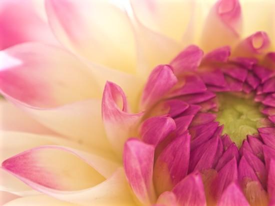Dahlia conchiglie by pistache