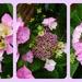 Lace cap Hydrangea by beryl