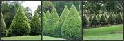 15th Nov 2010 - More Conifers