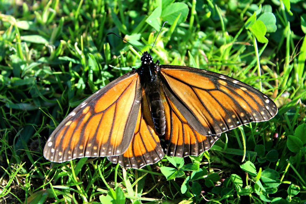 Wanderer Butterfly by leestevo