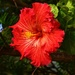Orange Hibiscus. by happysnaps