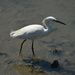 Egret by congaree