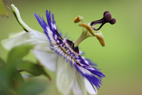 Passion Flower by motherjane
