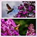 Hummingbird Hawk Moth by carolmw