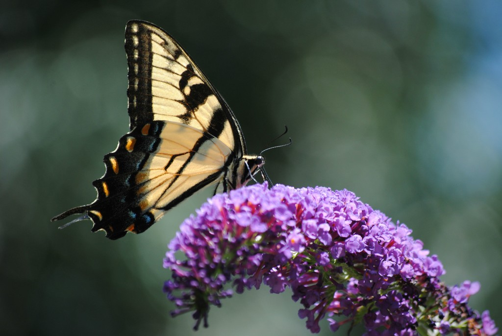 Beautiful Butterfly Days of Summer by alophoto