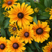 Black-eyed Susans by mccarth1