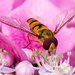 23rd July 2015    - Hoverfly by pamknowler