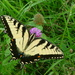 Swallowtail on Clover