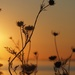 Queen Anne's Lace by selkie