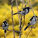Honeyeaters going crazy! by gilbertwood
