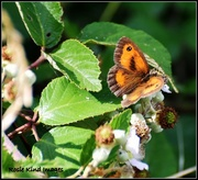 24th Jul 2015 - Butterfly