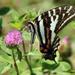 Zebra Swallowtail by cjwhite