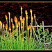 Kniphofia (Red Hot Poker) or Torch Lilies
