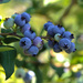 Blueberry picking by loweygrace