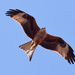 24th July 2015 - Red Kite by pamknowler