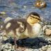 Duckling by seattlite