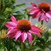 Echinacea in the rain by ziggy77