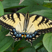Eastern Swallowtail (female)