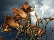 26th Jul 2015 - Lilies in the Clouds