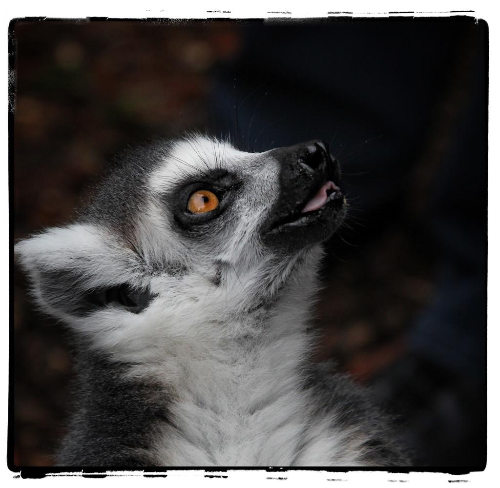 Ring Tail lemur by rustymonkey