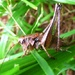 Dark Bush Cricket by julienne1