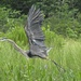 Great Blue Heron Taking Flight by rob257