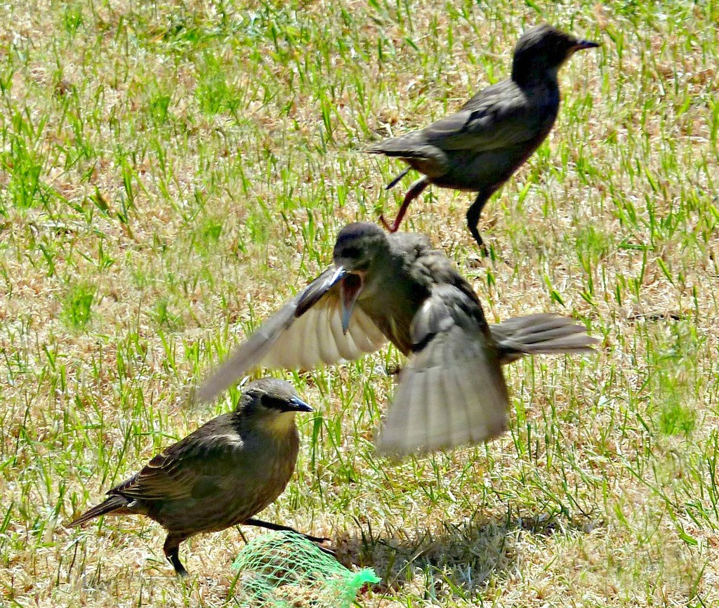 Starling Dramatics  by wendyfrost