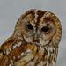 TAWNY OWL by markp