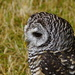 CHACO OWL by markp