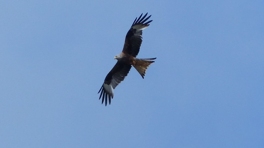 Another Red Kite by susiemc