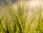 30th Jul 2015 - Encore Barley