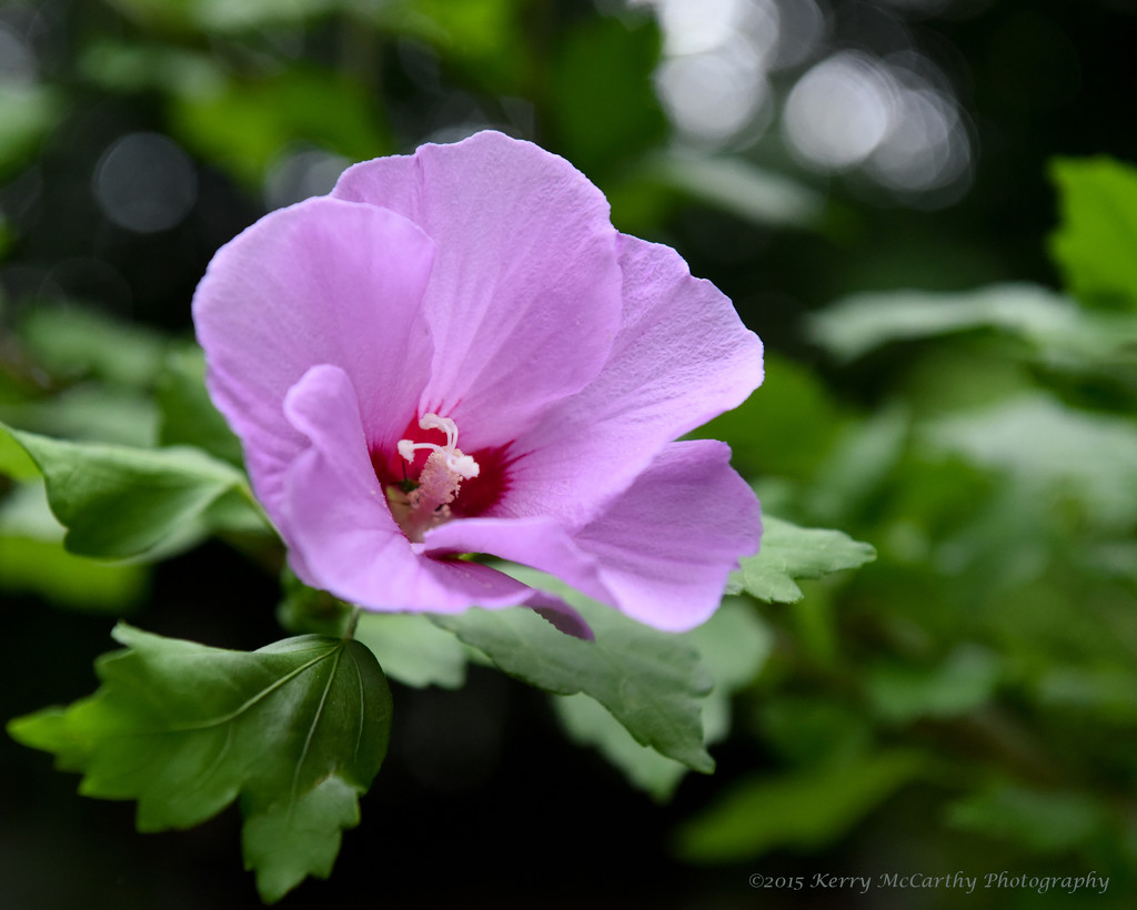 Rose of Sharon by mccarth1