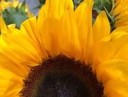 31st Jul 2015 - Sunflower