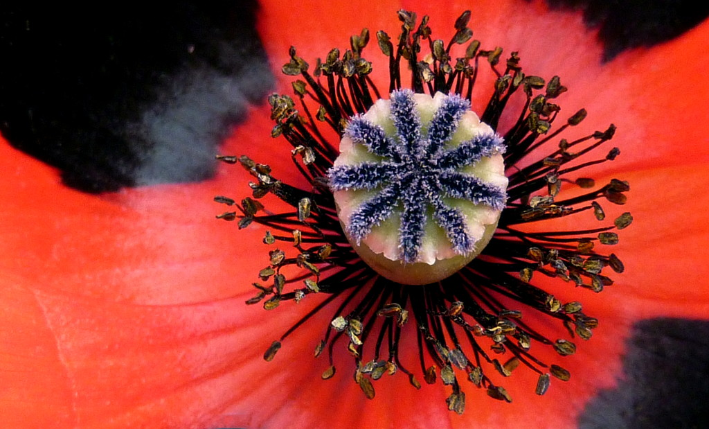 Inside my Poppy by phil_howcroft