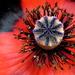 Inside my Poppy