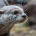 Male otter by callymazoo