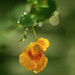 Jewel Weed in the Rain by mzzhope