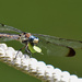 Dragonfly- Lunch on a rope. by rickster549